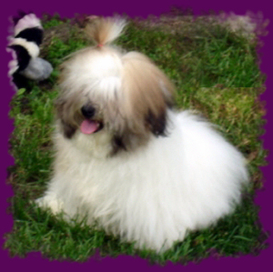 Puffy Coton de Tulear Coat