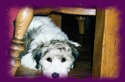 Puppy Harley under the chair