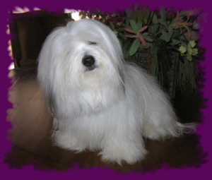 The Coton de Tulear Head Cock