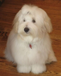 Toulouse the Poster Dog of Windy City Coton